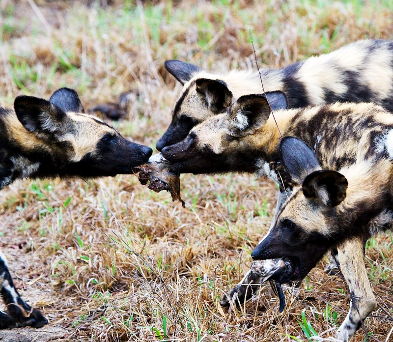 Wild Dog Pups - Food Fight