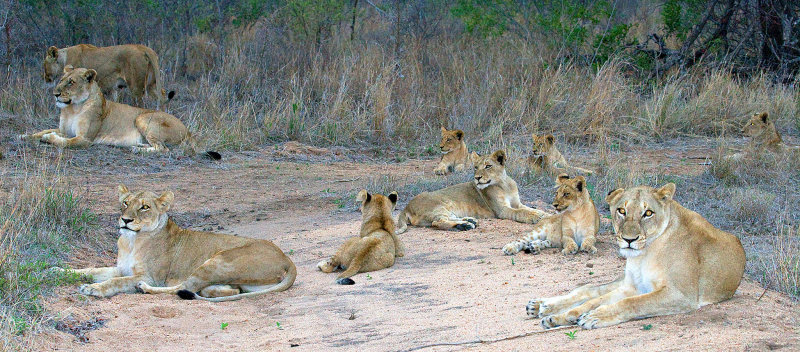 Pride - Females and Cubs