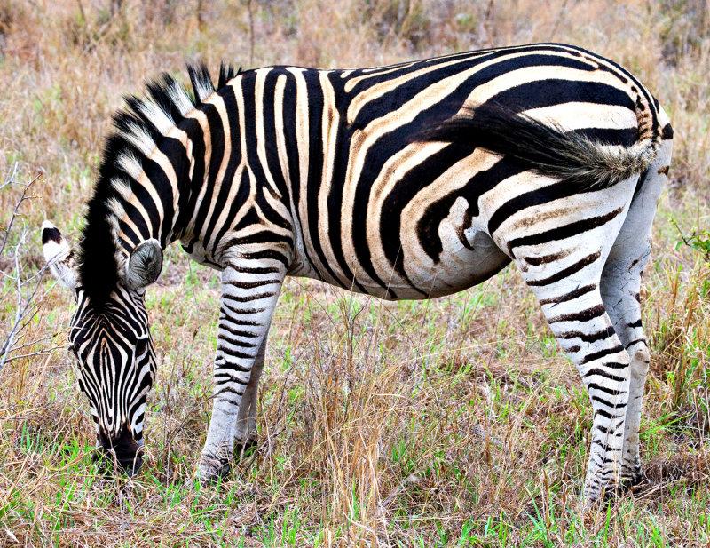 Burchells Zebra Mare