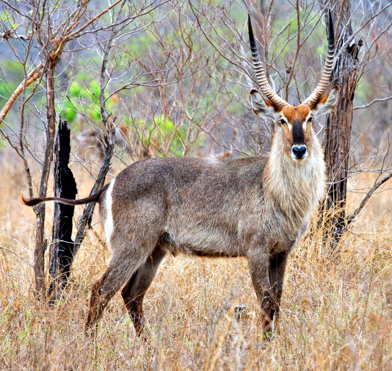 Waterbuck Adult Male