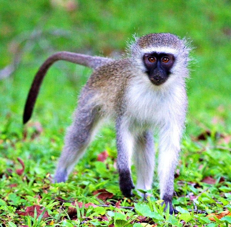 6-Oct ... Vervet Monkey