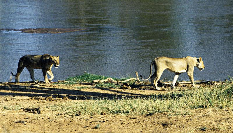 Dusk Hunting, Samburu