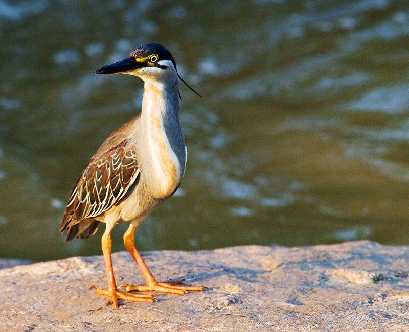 Greenbacked Heron  (Butorides striata)