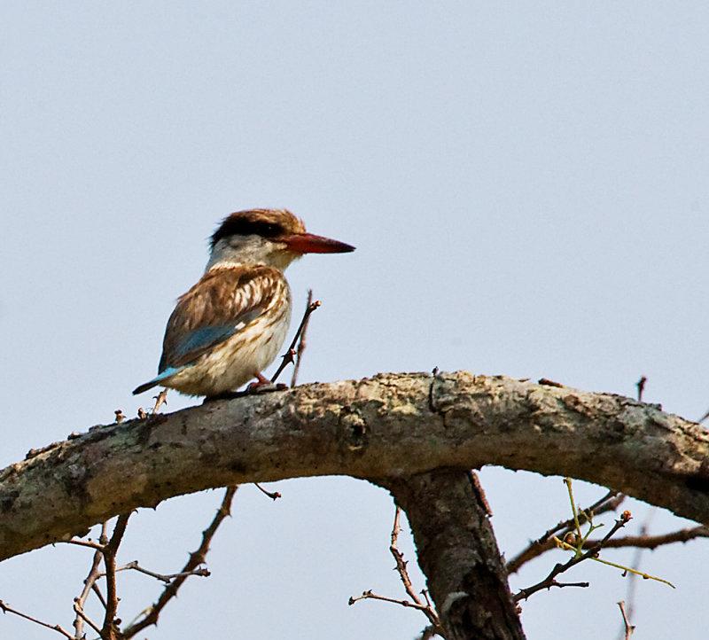 Brownhooded Kingfisher
