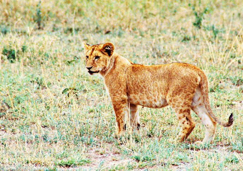 Half-grown Cub, Serengeti