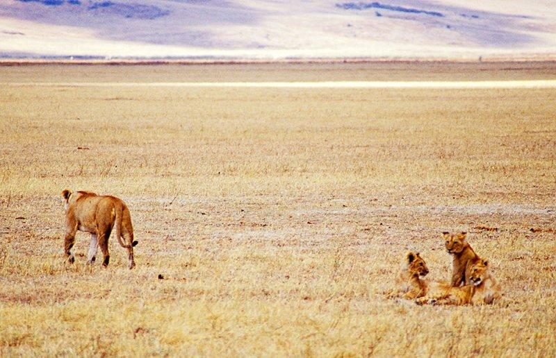 Lioness + 3 cubs