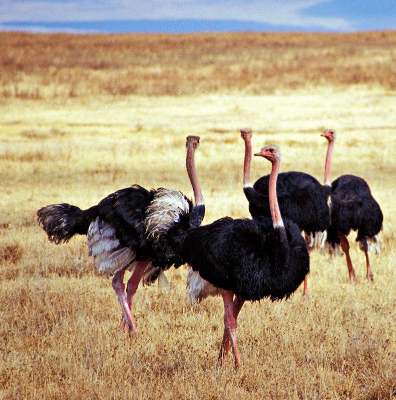 Male Ostriches