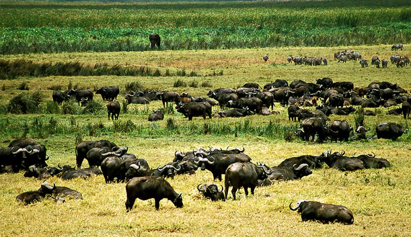Ngorongoro Buffalo Herd