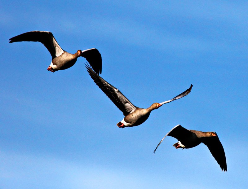 Greylags in Flight