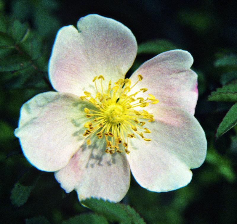 Blackberry Briar Flower