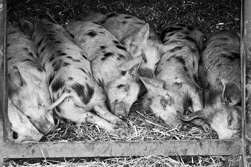 Slumbering Pigs