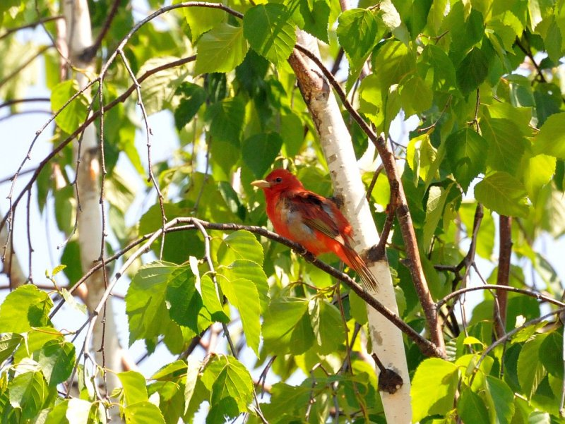 Summer tanager1