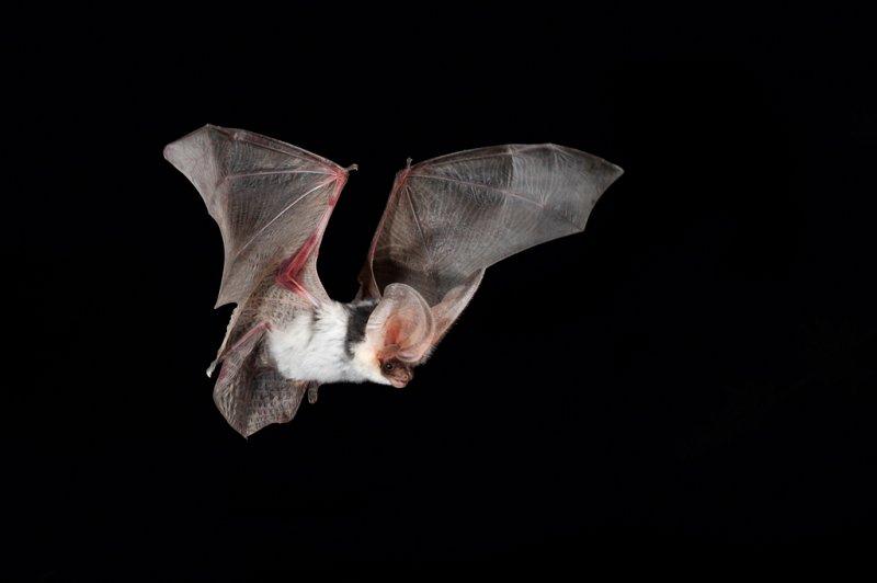 Spotted Bat 4.jpg