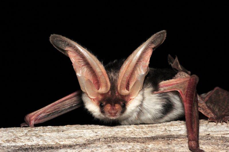 Spotted Bat 3.jpg