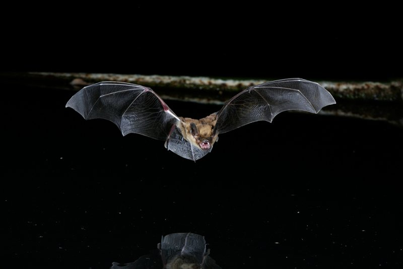 Big Brown Bat 1.jpg