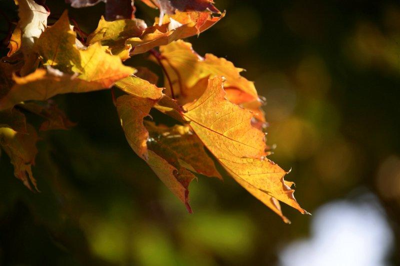Fall on Maple.jpg