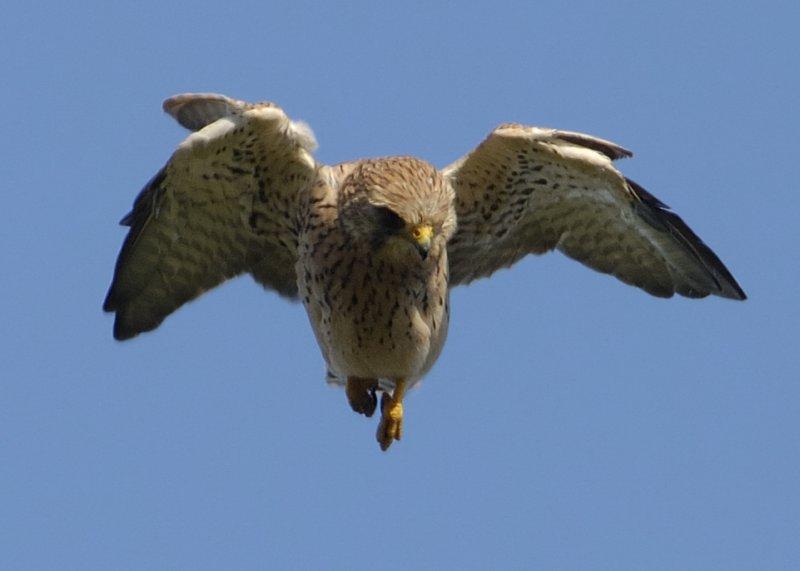 young Kestrel  Falco Tinnunculus