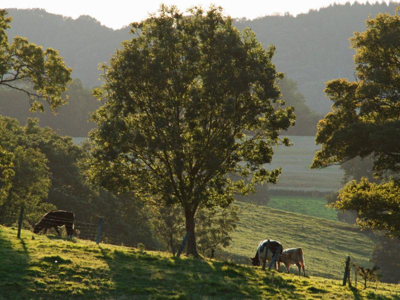 a few trees, a few cows