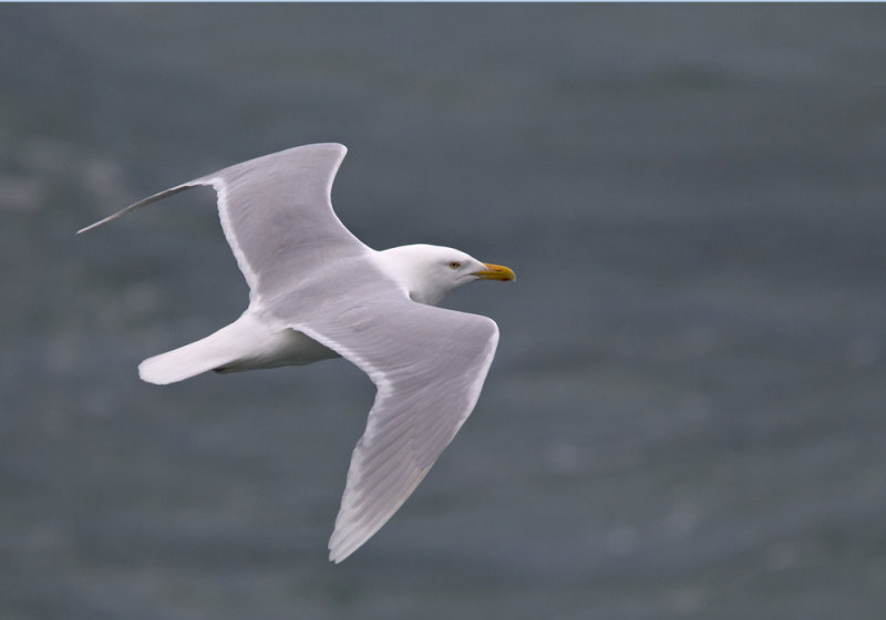 Glaucous Gull (Vittrut) Larus hyperboreus CP4P2756.jpg