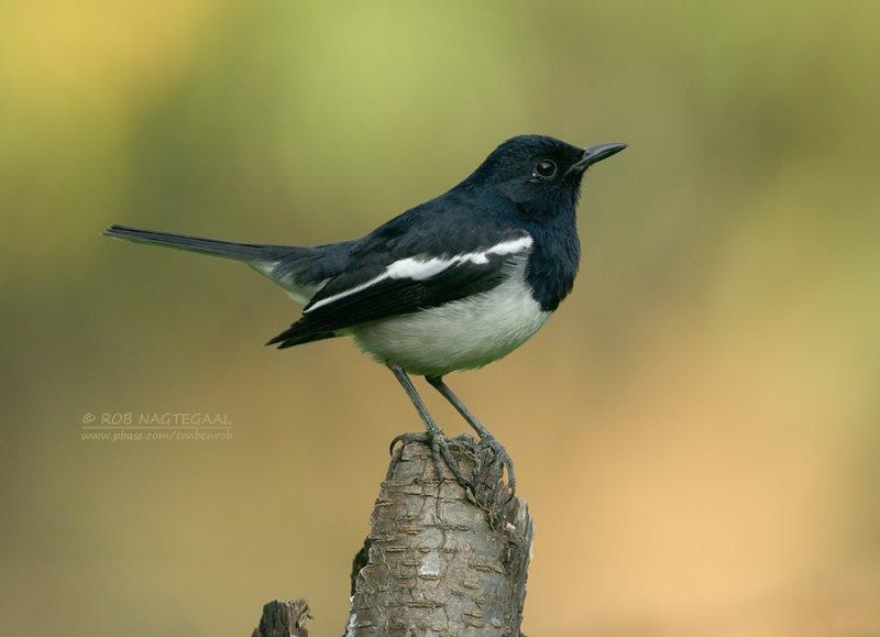 Dayallijster - Oriental Magpie-Robin - Copsychus saularis