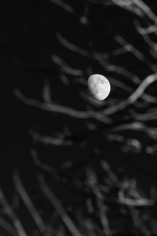 Moon through Branches Monochrome