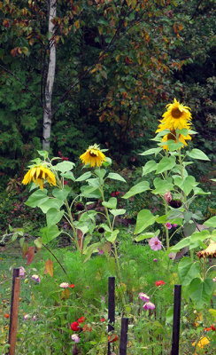 Sunflowers, Zinnias, Cosmos and the Ubiquitous Birch