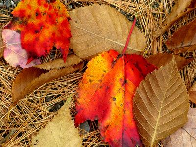Fallen Leaves on Pine Needles #2