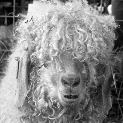 Angora Goat, I am told,  Common Ground Country Fair