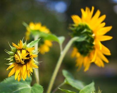 Sunflower 2009 #13