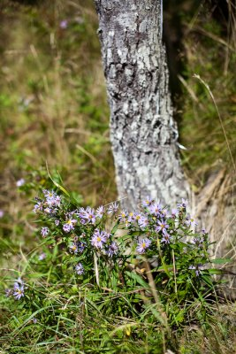 Asters by Tree