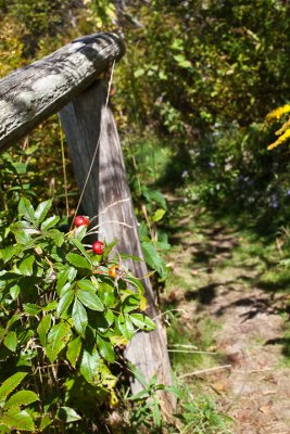 Red Berries at top of Steps