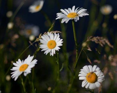 Daisy Quartet