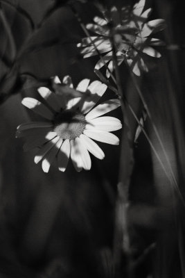 Daisies in Shadow