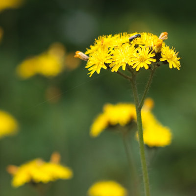 Yellow Hawkweed with Ant