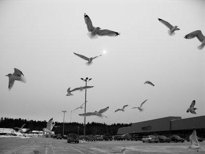 Parking Lot Gulls