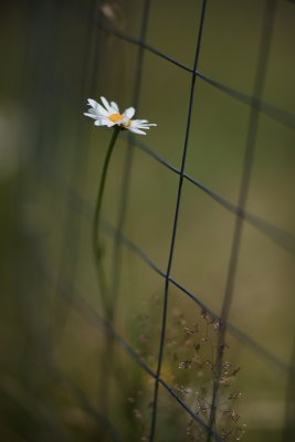 Lone Daisy by the Garden Fence #1