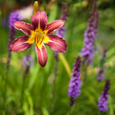 Red Lily and Liatris #1