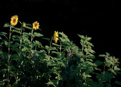 First Three Sunflowers of the Year in a Ray of Morning Sunlight