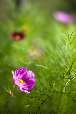 Late Afternoon Cosmos