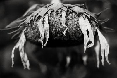 First Dying Sunflower of 2010 Monochrome