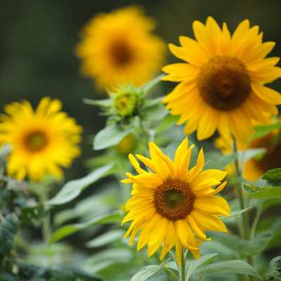 4½ Sunflowers