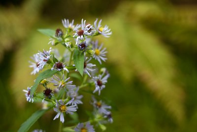 Asters and Ferns #1