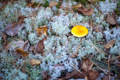 Yellow Fungus on Reindeer Moss