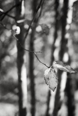 Last Leaves in Trees and Shadows