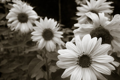 Sunflower Pentad