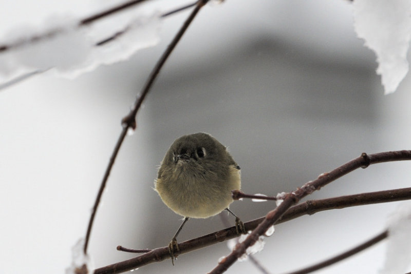 Kinglet Head On