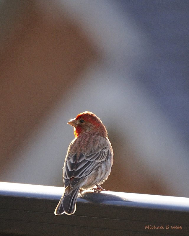 House Finch late evening