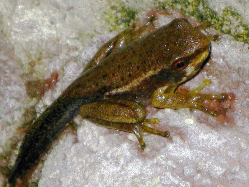 Froglet...young frog with a tail