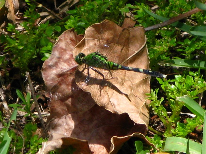 Eastern Pondhawk female