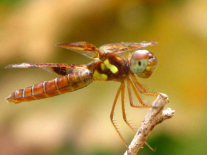 Eastern Amberwing female